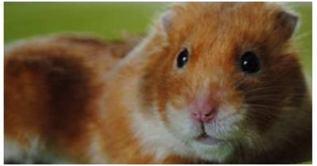 Ginang, patay dahil sa kagat ng alagang hamster