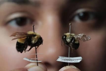The Once Common Bumble Bee Is Now Officially Endangered