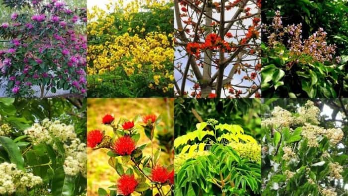 Pinoy trees that rival Japan's cherry blossoms