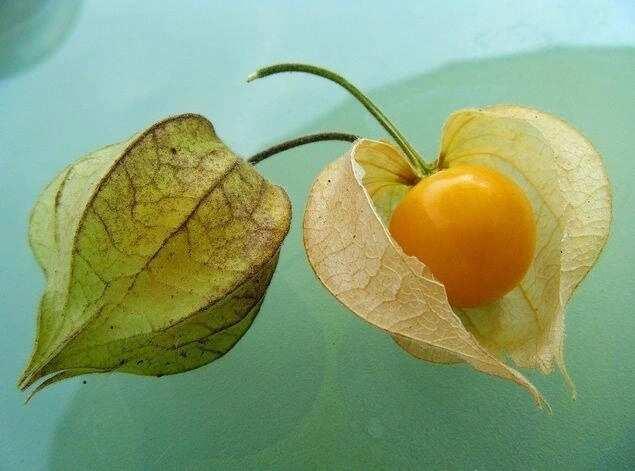 Kahanga hangang dulot sa katawan ng Lobo-lobohan o Golden Berry