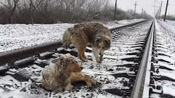 Loyal Dog Stayed With His Injured Girlfriend On Railway Tracks As Trains Rolled Above Them