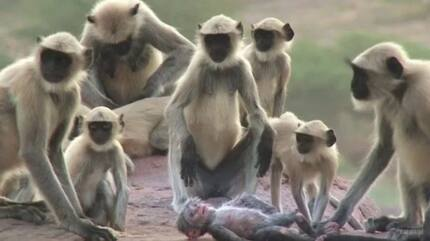 A Group Of Langur Monkeys Grieve Over A Robot Monkey