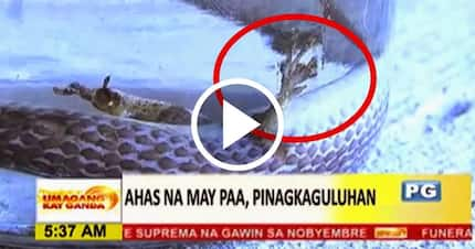 Deadly Snake With Legs Was Caught In Phillipines