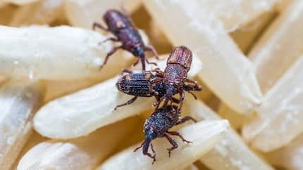 Explainer: What is bukbok and how can these bugs be exterminated?