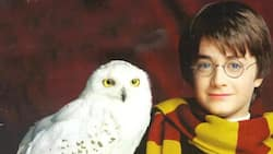 The show must go on? Find out what happened to a trained owl in new Harry Potter show