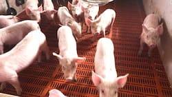 African Swine Fever outbreak in the Philippines, allegedly caused by smuggled pork from China