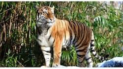 Isang tigre sa New York Zoo, nag-positibo rin sa COVID-19