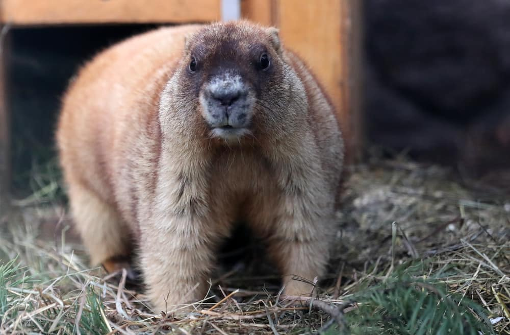 Teenager dies of bubonic plague in Mongolia after eating infected marmot