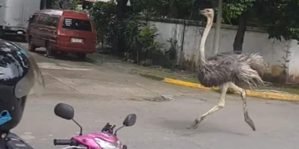 Celebrities poke fun at ostrich running loose in subdivision