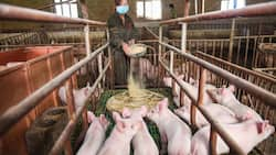 New swine flu discovered in China has potential to be a pandemic, experts claim