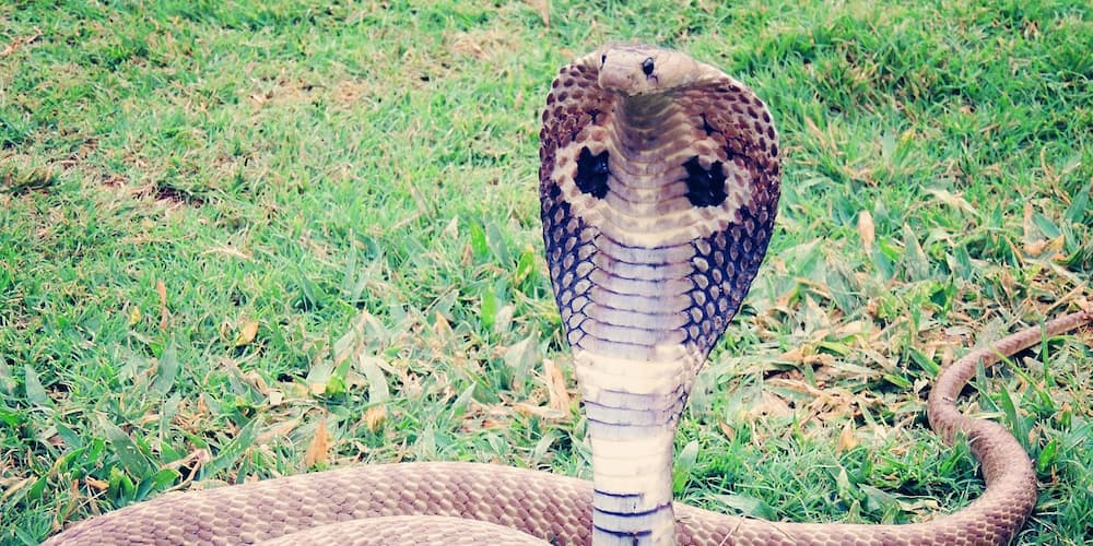 Online class disrupted by an unexpected slithering visitor - a Philippine cobra
