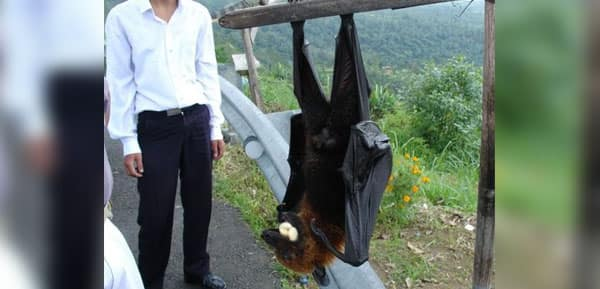 Human-sized bats from the Philippines freak out social media users